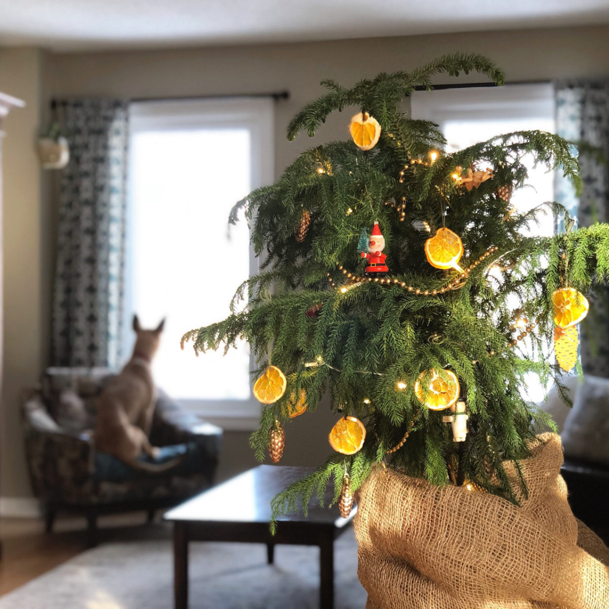 A small potted fir tree, decorated with dried orange slices, twinkle lights, a bead garland, and a vintage Santa sits in the foreground to the right of frame. The base is wrapped in burlap. In the background, our rescue dogs sits upright in a chair looking out the window.